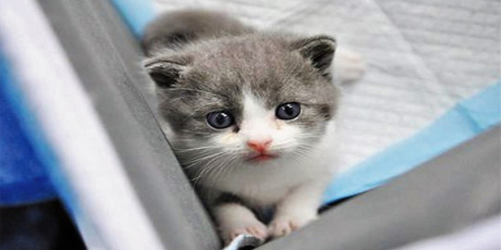 """Sinogene, empresa china de biotecnología anuncia que han clonado con éxito a su primer gato; se llama """"Garlic"""""""